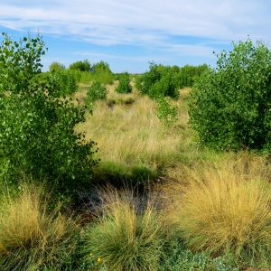 Native Cottonwoods and Sacaton Planted by Fred Phillips Consulting, Inc.