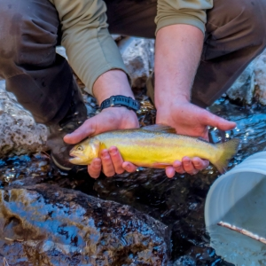 Biologist_holds_Gila_trout_in_Mineral_Creek